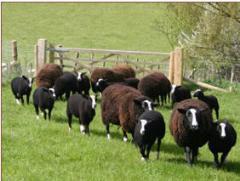 Ovce plemene Zwartbles