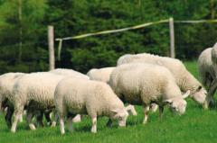 Minerální lizy pro ovce a kozy