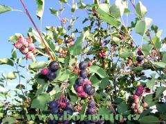 Sazenice odrůda Northline