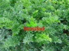 Celer listový Pikant