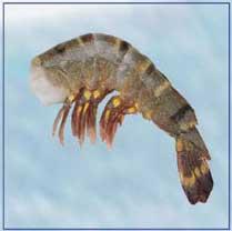 Tygří krevety bez hlavy