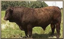 Spermia od býků